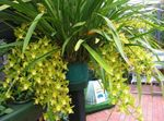 Photo Cymbidium characteristics