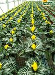 Photo Zebra Plant, Orange Shrimp plant characteristics