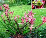 Photo Kangaroo paw characteristics