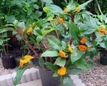 Photo Fiery Costus characteristics