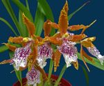 Photo Tiger Orchid, Lily of the Valley Orchid characteristics