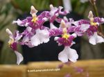 Photo Dancing Lady Orchid, Cedros Bee, Leopard Orchid characteristics