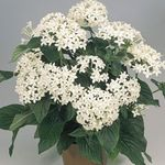 Photo Pentas, Star Flower, Star Cluster characteristics
