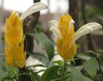 Photo Yellow Shrimp Plant, Golden Shrimp Plant, Lollipop Plant characteristics
