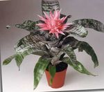 Photo Silver Vase, Urn Plant, Queen of the Bromeliads characteristics