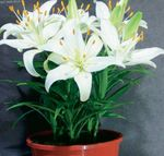 Photo Lilium characteristics
