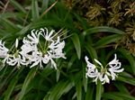 Photo Guernsey Lily characteristics