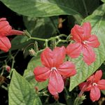 Photo House Flowers Monkey Plant, Red ruellia , red