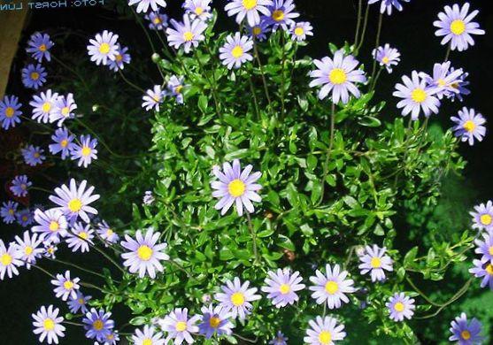 Фелиция цветы выращивание 3