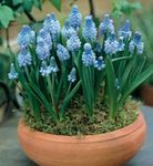 Photo Grape Hyacinth characteristics