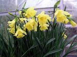 Photo Daffodils, Daffy Down Dilly characteristics