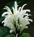 Photo Brazilian Plume, Flamingo Flower characteristics