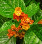 Photo Chrysothemis characteristics