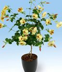 Photo House Flowers Golden Trumpet Shrub liana (Allamanda), yellow