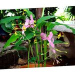 Photo House Flowers Dancing Lady herbaceous plant (Globba), pink