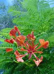 Royal Poinciana, Blistav Stabla