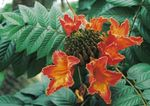 Photo African Tulip Tree characteristics