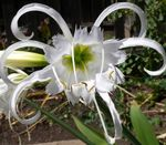 Photo Spider Lily, Ismene, Sea Daffodil characteristics