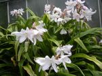Photo Crinum characteristics