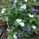Photo Brunfelsia, Yesterday-Today-Tomorrow characteristics