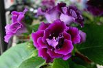 Photo Sinningia (Gloxinia) characteristics