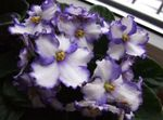 Photo African violet characteristics