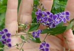 Photo Duranta, Honey Drops, Golden Dewdrop, Pigeon Berry characteristics
