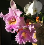 Photo Cattleya Orchid characteristics