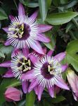 Photo Passion flower characteristics