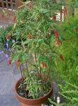 Bloodberry, Rouge Plant, Baby Pepper,Pigeonberry, Coralito