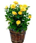 Photo House Flowers Rose shrub , yellow