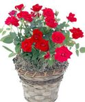 Photo House Flowers Rose shrub , red