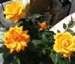 Photo House Flowers Rose shrub , orange