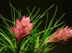 Photo Tillandsia characteristics