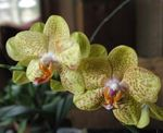 Photo Phalaenopsis characteristics