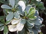 Photo Japanese Laurel, Pittosporum tobira characteristics