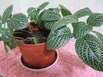 Photo Fittonia, Nerve Plant , motley