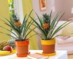 Photo House Plants Pineapple (Ananas), green