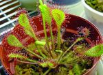 Photo Round-leaved sundew characteristics
