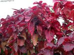 Photo Fire Dragon Acalypha, Hoja de Cobre, Copper Leaf characteristics