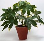 Photo Japanese Aralia characteristics
