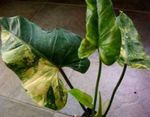 Photo Philodendron liana characteristics