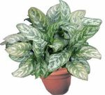 Aglaonema, Silver Evergreen