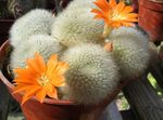 Photo House Plants Crown Cactus (Rebutia), orange