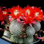 Photo House Plants Crown Cactus (Rebutia), red