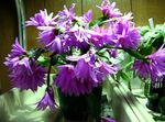 Photo House Plants Easter Cactus (Rhipsalidopsis), lilac