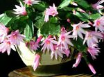 Photo House Plants Easter Cactus (Rhipsalidopsis), pink
