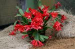 Photo House Plants Easter Cactus (Rhipsalidopsis), red