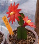 Photo House Plants Drunkards Dream wood cactus (Hatiora), red