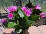 Photo House Plants Drunkards Dream wood cactus (Hatiora), pink
